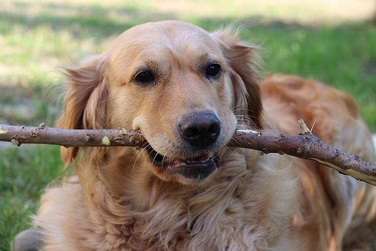 ゴールデンレトリバーの成犬