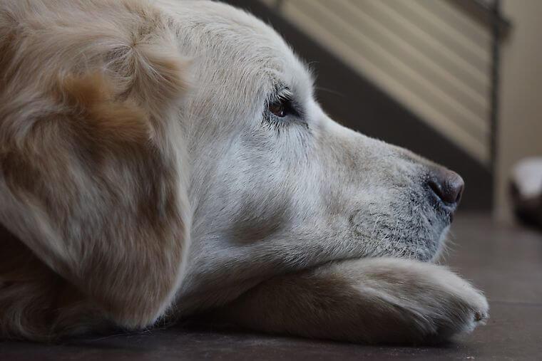 ゴールデンレトリバーの老犬