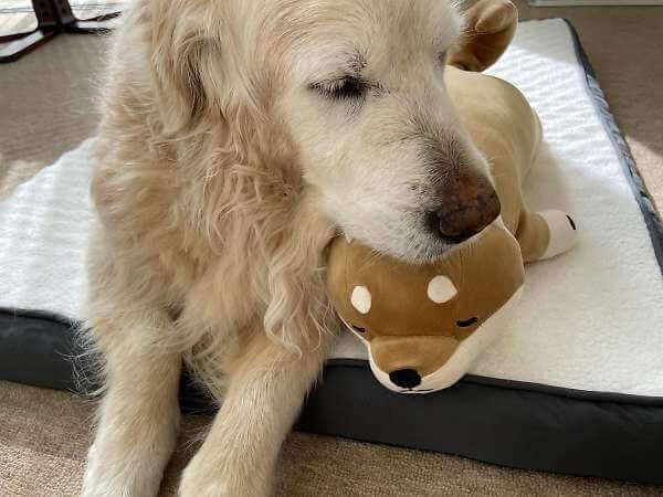 柴犬抱き枕とゴールデンレトリバー