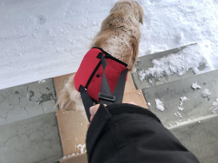 ハーネスをして階段を下りるゴールデンレトリバー