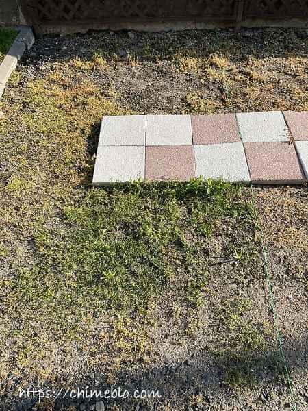 除草剤散布10日目のダイソー区画