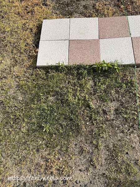 除草剤散布12日目のダイソー区画